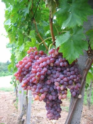 Csemegeszőlő és Oltvány Centrum