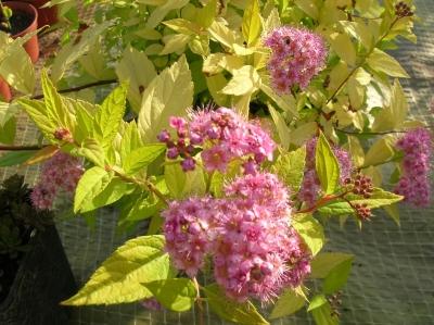 Csongrádi Kertészet