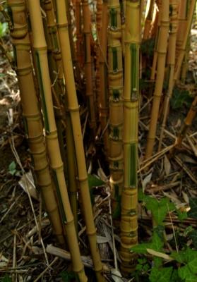Bambuszkertészet