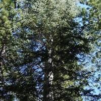 Kolorádófenyő (Abies concolor 'Violacea')