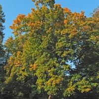 Korai juhar (Acer platanoides 'Drummondii')