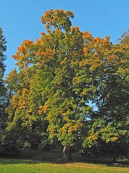 Korai juhar (<span>Acer platanoides</span> 'Emerald Queen')