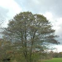 Enyves éger (Alnus glutinosa)