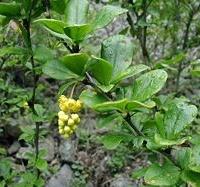 Közönséges borbolya (Berberis vulgaris)