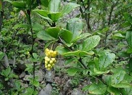 Közönséges borbolya (<span>Berberis vulgaris</span>)