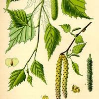 Bibircses nyír (Betula pendula)