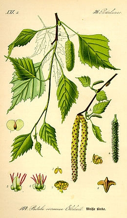 Bibircses nyír (<span>Betula pendula</span>)