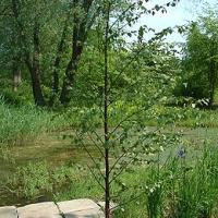 Molyhos nyír (Betula pubescens)