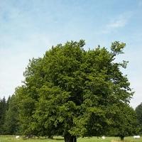 Közönséges gyertyán (Carpinus betulus)