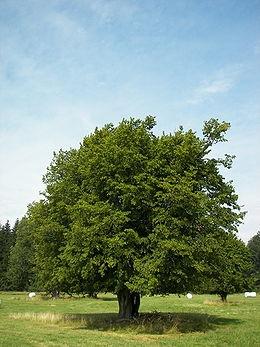 Közönséges gyertyán (<span>Carpinus betulus</span>)