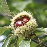 Szelídgesztenye (Castanea sativa)