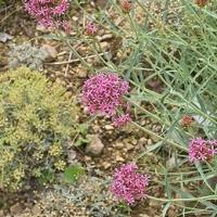 Sarkantyúvirág (Centranthus ruber)