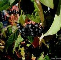 Veresgyűrű som (Cornus sanguinea)