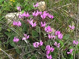 Ciklámen (<span>Cyclamen sp.</span>)