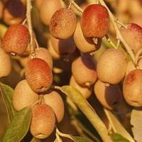 Keskenylevelű ezüstfa (Elaeagnus angustifolia)
