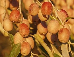 Keskenylevelű ezüstfa (<span>Elaeagnus angustifolia</span>)