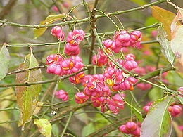 Csíkos kecskerágó (<span>Euonymus europaeus</span>)