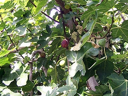 Füge (<span>Ficus carica</span>)