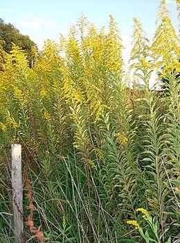 Aranyvessző (<span>Forsythia x intermedia</span> 'Lynwood')