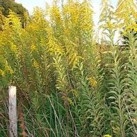 Aranyvessző (Forsythia x viridissima 'Bronxensis')