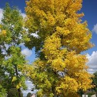Amerikai kőris (Fraxinus pennsylvanica ''Patmore'')