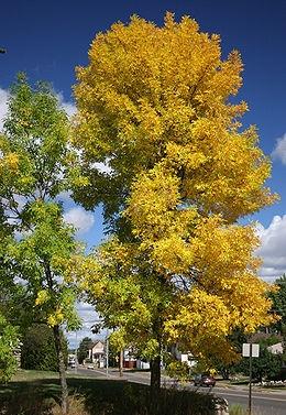Amerikai kőris (<span>Fraxinus pennsylvanica</span> ''Patmore'')