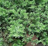 Fövenyboróka (Juniperus conferta)