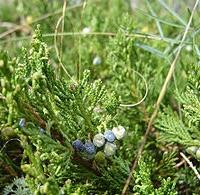 Henye boróka (Juniperus horizontalis)