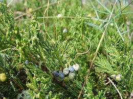 Henye boróka (<span>Juniperus horizontalis</span>)