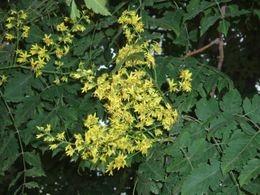 Bugás csörgőfa (<span>Koelreuteria paniculata</span>)