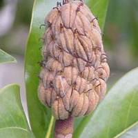 Örökzöld liliomfa (Magnolia grandiflora)