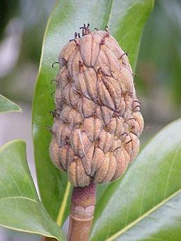 Örökzöld liliomfa (<span>Magnolia grandiflora</span>)