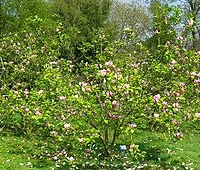 Nagyvirágú liliomfa (Magnolia x soulangeana)