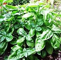 Bazsalikom (Ocimum basilicum)