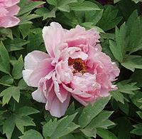 Bazsarózsa (Paeonia sp.)