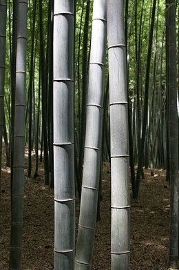 Bambusz (<span>Phyllostachys viridis</span>)