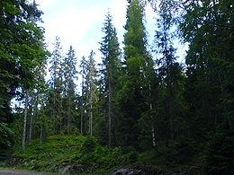 Közönséges lucfenyő  (<span>Picea abies</span> 'Merkii')