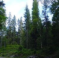 Közönséges lucfenyő  (Picea abies 'Nidiformis')