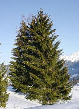 Lucfenyő (<span>Picea orientalis</span>)
