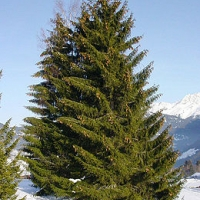 Lucfenyő (Picea pungens)