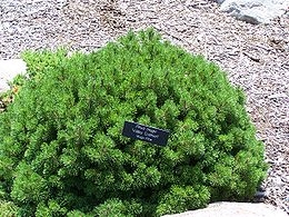 Havasi törpefenyő (<span>Pinus mugo var. Pumilio</span>)