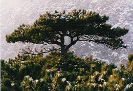 Feketefenyő (<span>Pinus nigra</span> 'Sinfonia')