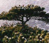 Feketefenyő (Pinus nigra)