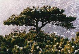Feketefenyő (<span>Pinus nigra</span>)