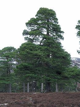 Erdei fenyő (<span>Pinus sylvestris</span> 'Fastigiata')