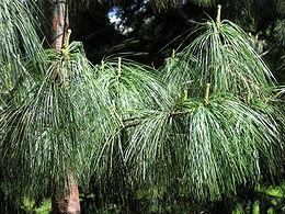 Himalájai selyemfenyő (<span>Pinus wallichiana</span>)