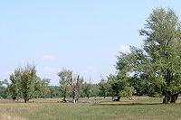 Fekete nyár (Populus nigra 'Italica')