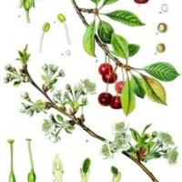 Meggy (Prunus cerasus 'Érdi bőtermő')