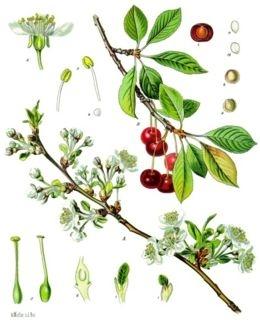 Meggy (<span>Prunus cerasus</span> 'Újfehértói fürtös')