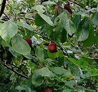 Szilva (Prunus domestica 'Besztercei Nm 122')